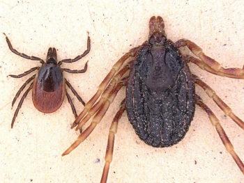 Deadly Vectors: Dangerous tick species immigrated