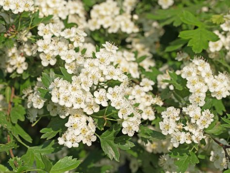 Hawthorn: The Herb of the year 2019