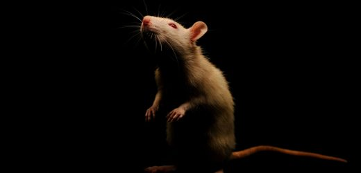 Could 'Memory-Erasing' Implants Help Prevent Drug Relapses? It Worked for These Rats.
