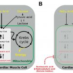 Ketone body utilization decreases when blood flow to the heart is reduced