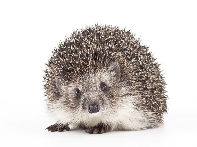 Snuggling your pet hedghog may spread salmonella, CDC warns