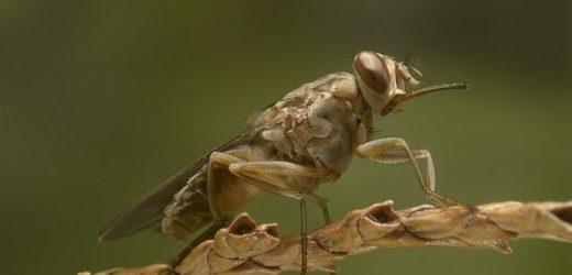 Using machine learning to eradicate the tsetse fly in sub-Saharan Africa