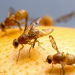 Researchers find oxidative stress plays a role in telling fruit flies when to sleep