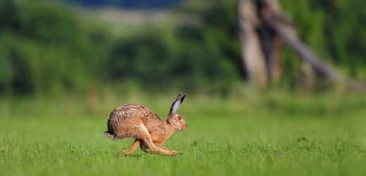 A plague of rabbits in the North of Germany, broken – risk of infection also for humans!
