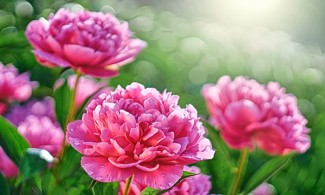 Arthritis sufferers could benefit from pill made from peonies