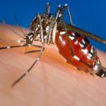 Early dengue virus infection could 'defuse' Zika virus