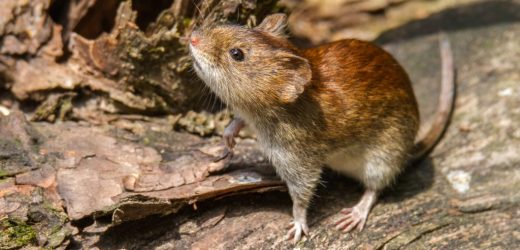 Dangerous Hantavirus is spread increasingly, So protect yourself