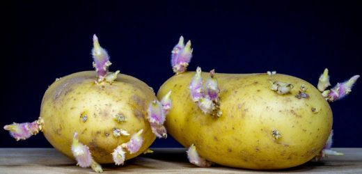 May be eaten out sprouted potatoes?