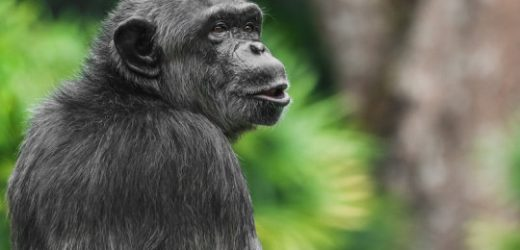 Environment, not evolution, might underlie some human-ape differences