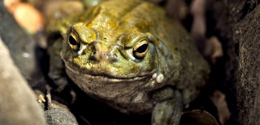 Happy for a month due to toad secretion?