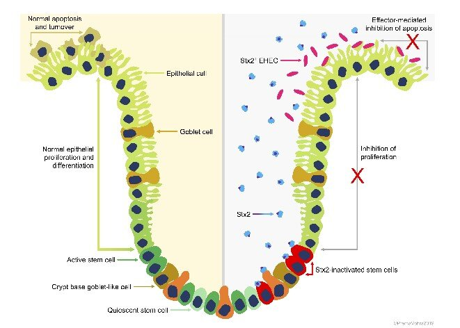 Toxin promotes cattle-to-cattle transmission of deadly Escherichia coli strains