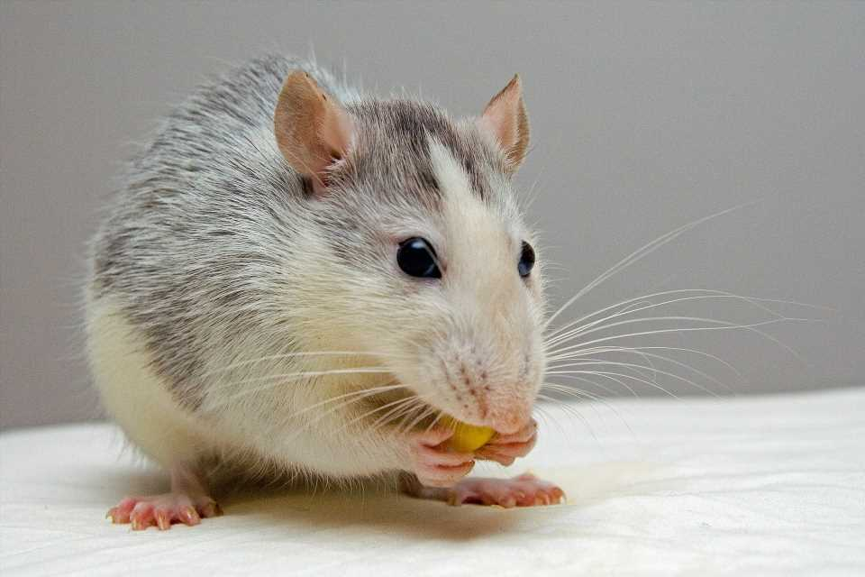 Orally administered liquid salt helps prevent fat absorption and slow down weight gain in rats
