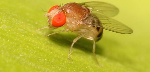 Ketogenic diet protects fruit fly brains from concussions