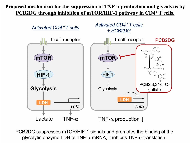 Glycolysis involved in immunosuppression by polyphenol