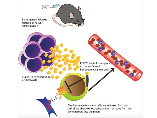 FGF23 hormone from red blood cell precursors promotes hematopoietic stem cell mobilization