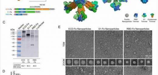 Researchers develop self-assembling nanoparticle SARS-CoV-2 vaccines