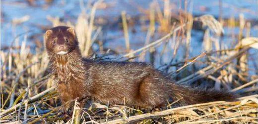 Free-ranging minks exhibit high titers of SARS-CoV-2 antibodies in Utah