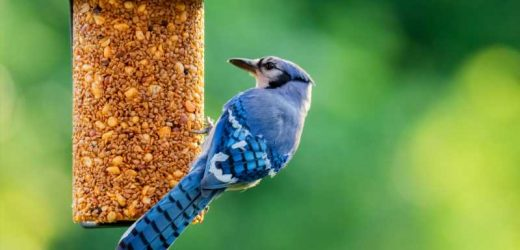 Here's What It Really Means When You See A Blue Jay