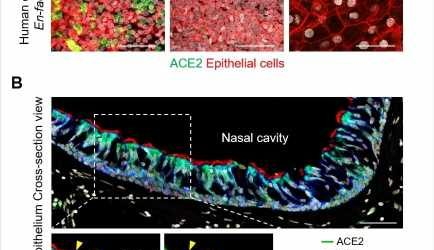 Replication of SARS-CoV-2 in nasal ciliated cells could provide a new vaccination target